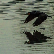 Cormorant Skimming Water
