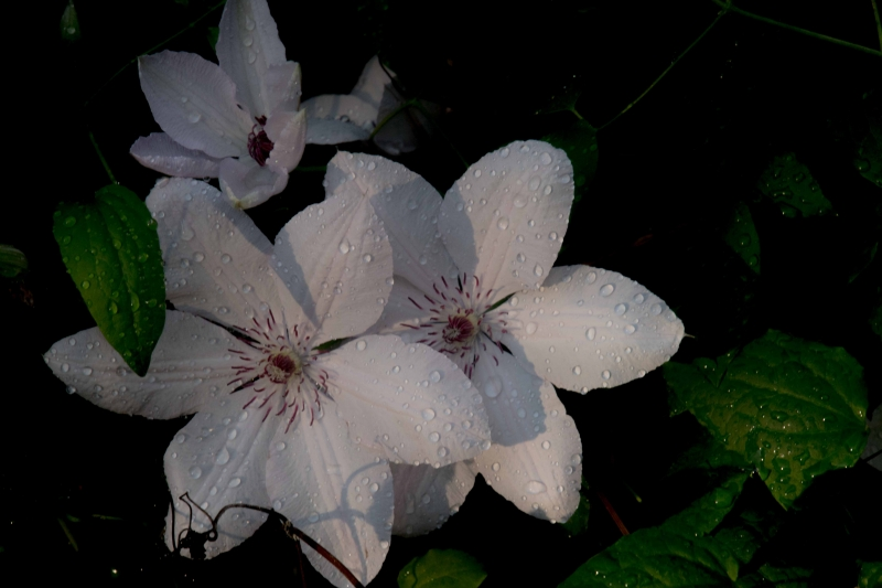 Climatis-with-Waterdrops