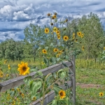 Sunflower-Array