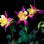 Three-Columbine-Sisters